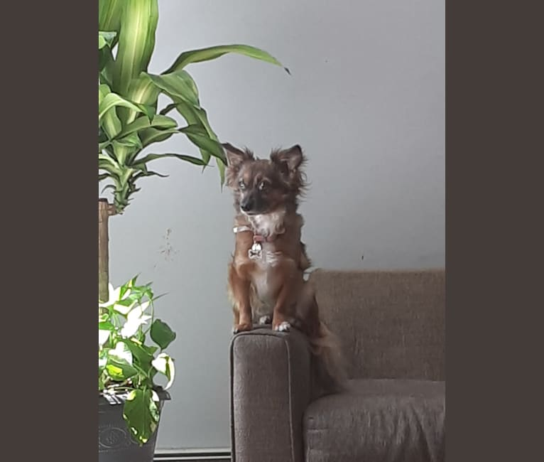 Photo of Fifi, a Chihuahua and Poodle (Small) mix in Glocester, Rhode Island, USA