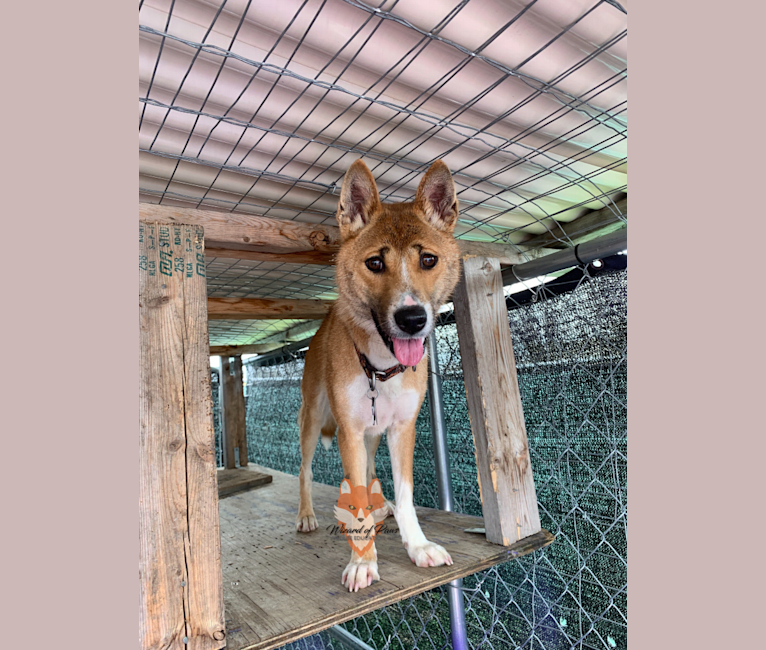 Photo of The Wizard's Toa Jean, a New Guinea Singing Dog