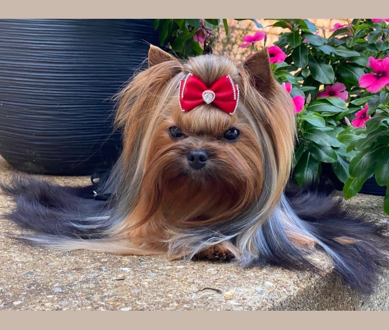 Photo of Nova, a Yorkshire Terrier  in Russia, Moscow Oblast, Russia
