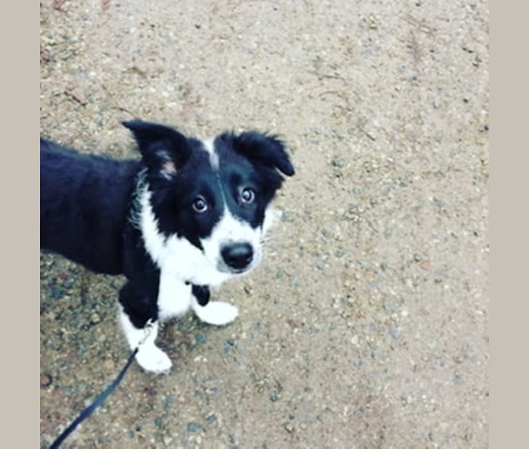 Photo of Penelope (Penny), a Border Collie, Collie, and Mixed mix in Paul Lake, BC, Canada