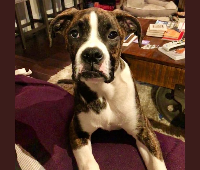 Photo of Buddy, a Boxer and Norwegian Elkhound mix in Indiana, USA