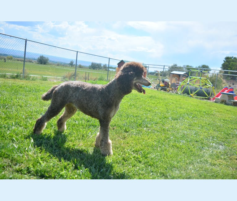 Photo of Jane, a Poodle (Standard)  in Las Vegas, NV, USA