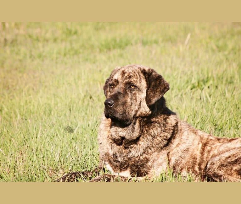Photo of Kovu, an Anatolian Shepherd Dog