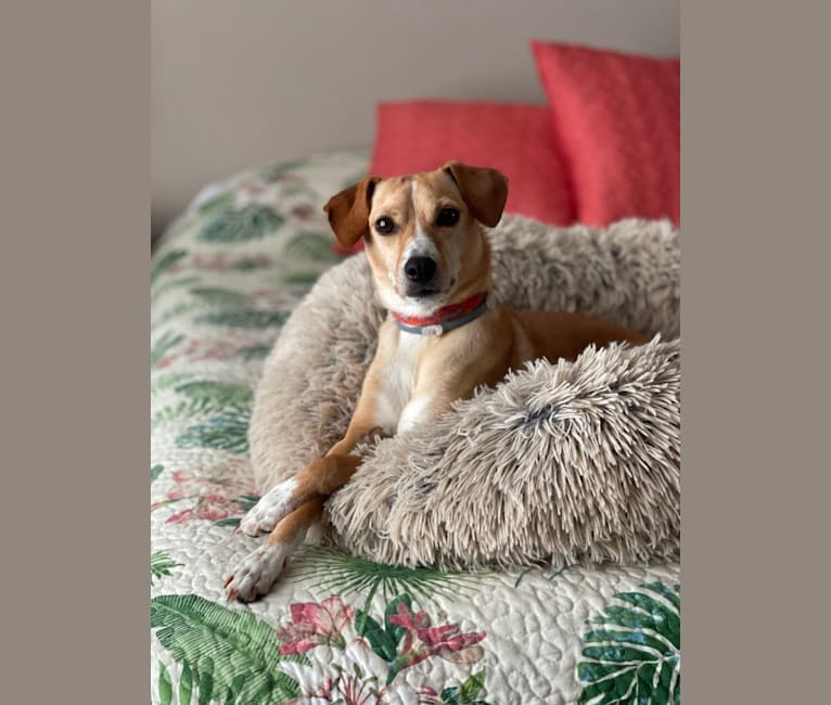 Photo of Decoy, a Cocker Spaniel, Rat Terrier, Lhasa Apso, Chihuahua, and Mixed mix in Norfolk, VA, USA
