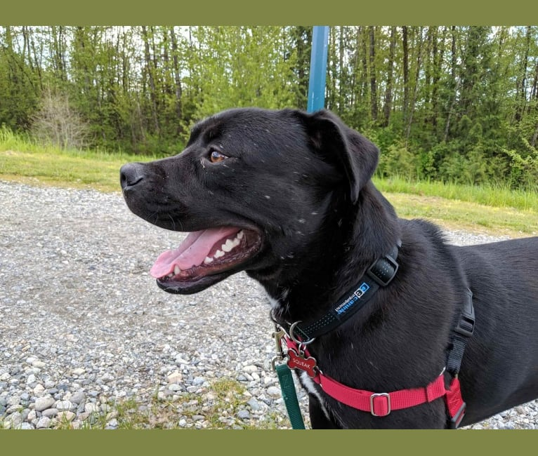 Photo of Squeak, an American Bully, American Pit Bull Terrier, Alaskan Malamute, Rottweiler, and Mixed mix in Nanaimo, BC, Canada