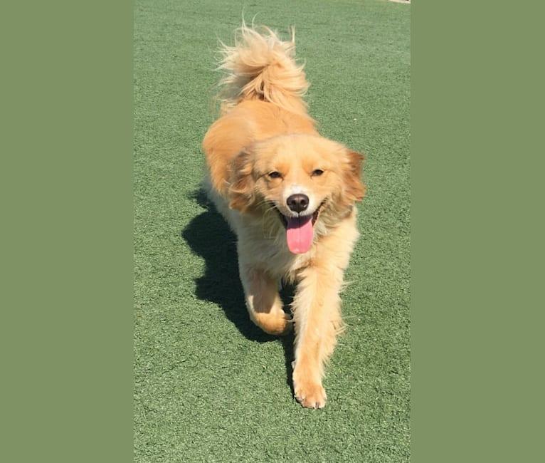 Photo of Bailey, a Shih Tzu, Poodle (Small), Pomeranian, Lhasa Apso, and Mixed mix in Santa Rosa, California, USA