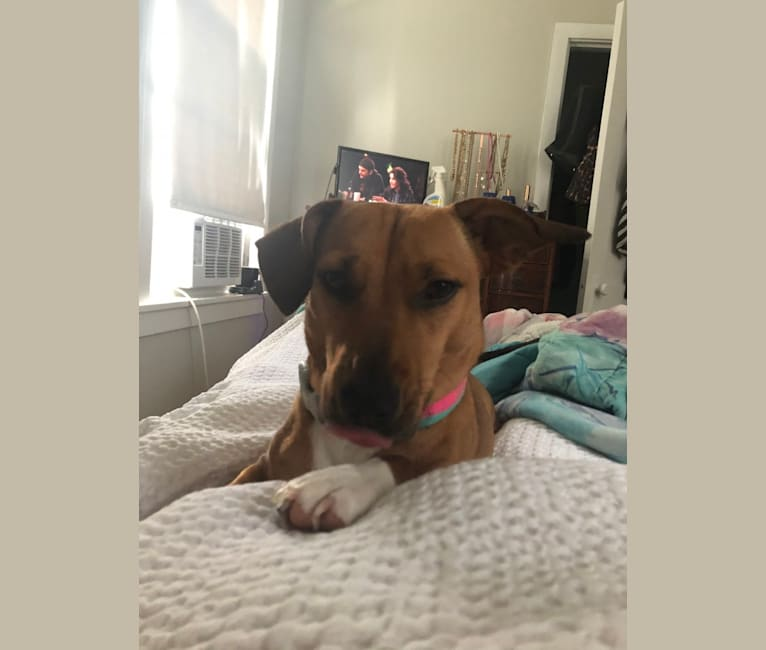 Photo of Punkin, an American Bulldog, American Staffordshire Terrier, Australian Cattle Dog, Australian Shepherd, and Mixed mix in Alabama, USA