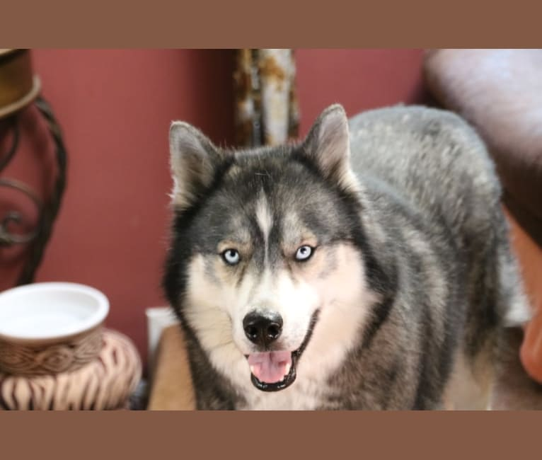 Photo of LUCAZ, a Siberian Husky  in Virginia, USA