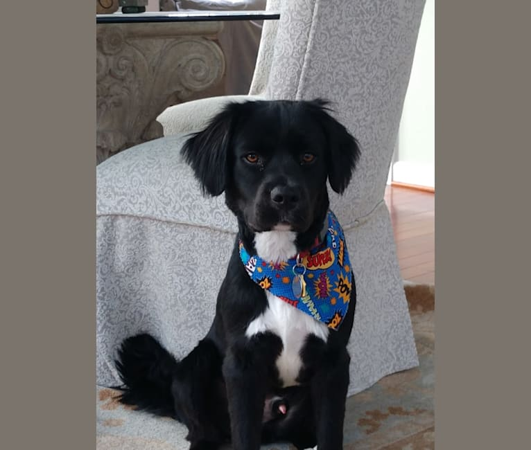 Photo of Remus, from Professor Remus Lupin of HogWarts College, a Labrador Retriever, Boxer, Cocker Spaniel, Rottweiler, and Boston Terrier mix in Alabama, USA
