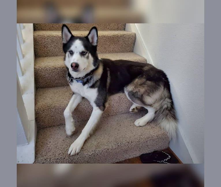 Photo of Koby, a Siberian Husky mix in Houston, Texas, USA