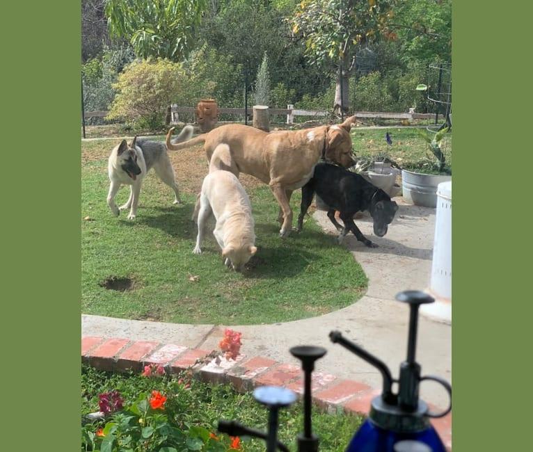 Photo of Jaeger, a German Shepherd Dog, Border Collie, Akita, Australian Shepherd, and Siberian Husky mix in La Habra Heights, California, USA