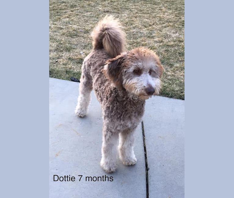 Photo of Dottie, a Goldendoodle