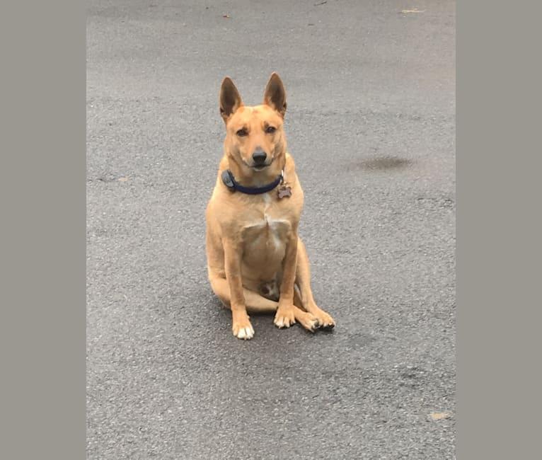 Photo of Gitlee, a Carolina Dog  in Aiken, SC, USA