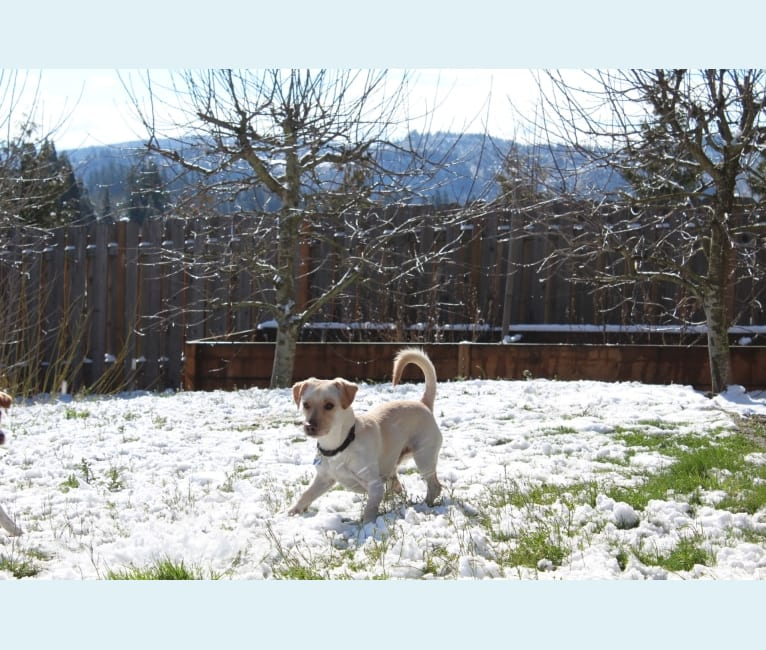 Photo of Tucker, a German Shepherd Dog, Chihuahua, and Poodle (Small) mix in Happy Valley, Oregon, USA