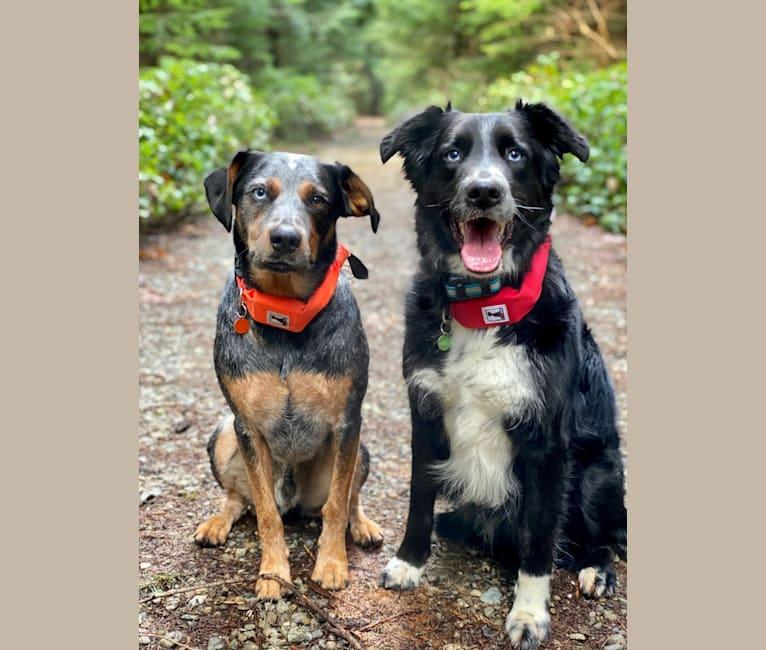Photo of Levi, an Australian Cattle Dog and Bluetick Coonhound mix in Arlington, Washington, USA