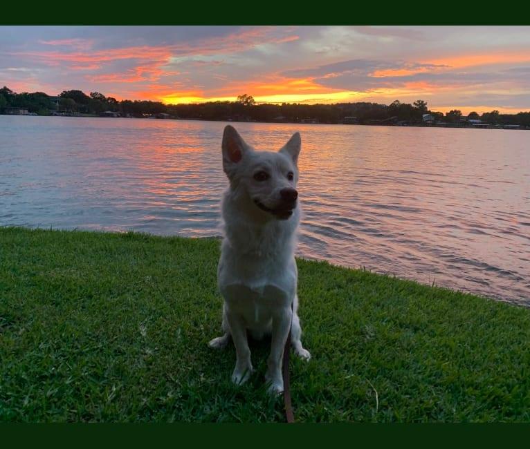 Photo of Sukha, a Siberian Husky, Chihuahua, American Eskimo Dog, Australian Cattle Dog, Chow Chow, and Mixed mix in Seguin, Texas, USA