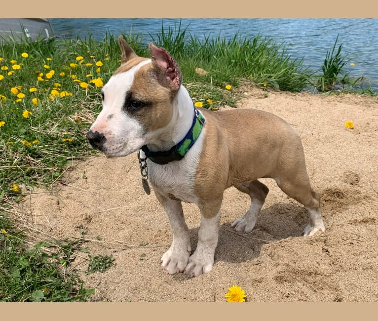 Photo of Esoteric's Foretold in Bones, an American Staffordshire Terrier  in Fuquay-Varina, NC, USA