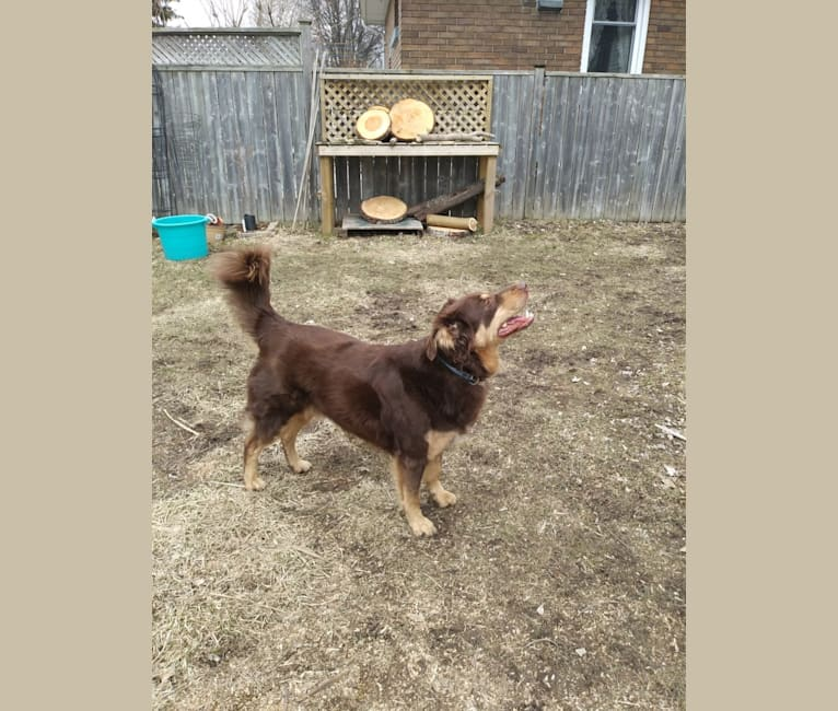 Photo of Knapper, a German Shepherd Dog, Collie, Labrador Retriever, Saint Bernard, Chow Chow, Alaskan Malamute, and Doberman Pinscher mix in London, Ontario, Canada