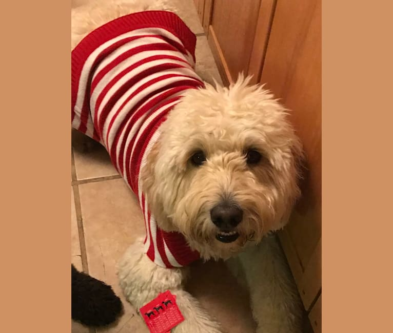 Photo of Odell, a Goldendoodle  in New York, NY, USA