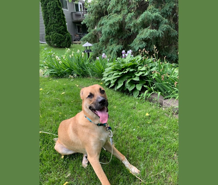 Photo of Jax, a Great Pyrenees, American Pit Bull Terrier, Australian Cattle Dog, and Bulldog mix in Secondhand Hounds, Baker Road, Minnetonka, MN, USA
