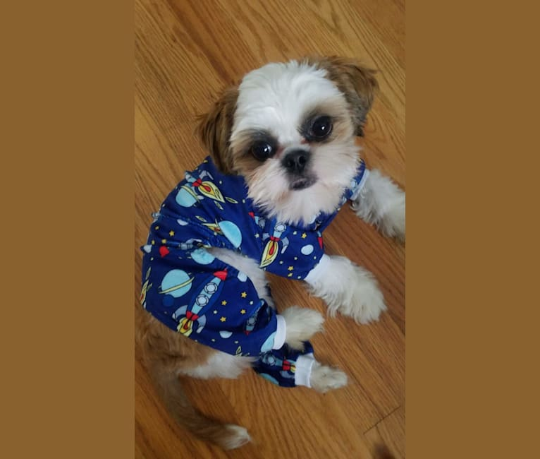 Photo of Brody, a Shih Tzu  in New Jersey, USA