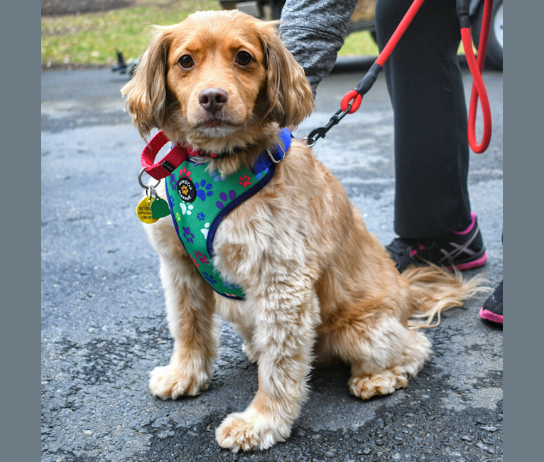 Photo of Moose Henry, a Cocker Spaniel, Russell-type Terrier, Dachshund, and Mixed mix in Arlington, Virginia, USA