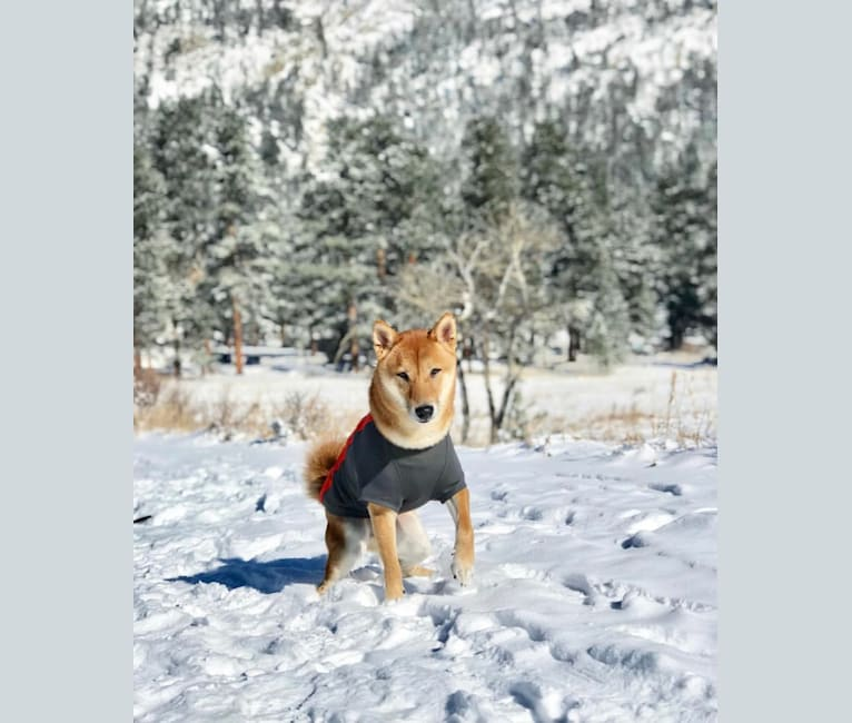 Photo of Max, a Shiba Inu  in Missouri, USA
