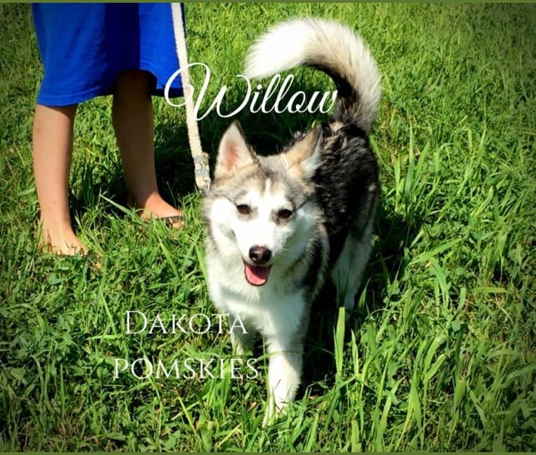 Photo of Dakota Pomskies Willow, a Siberian Husky and Pomeranian mix