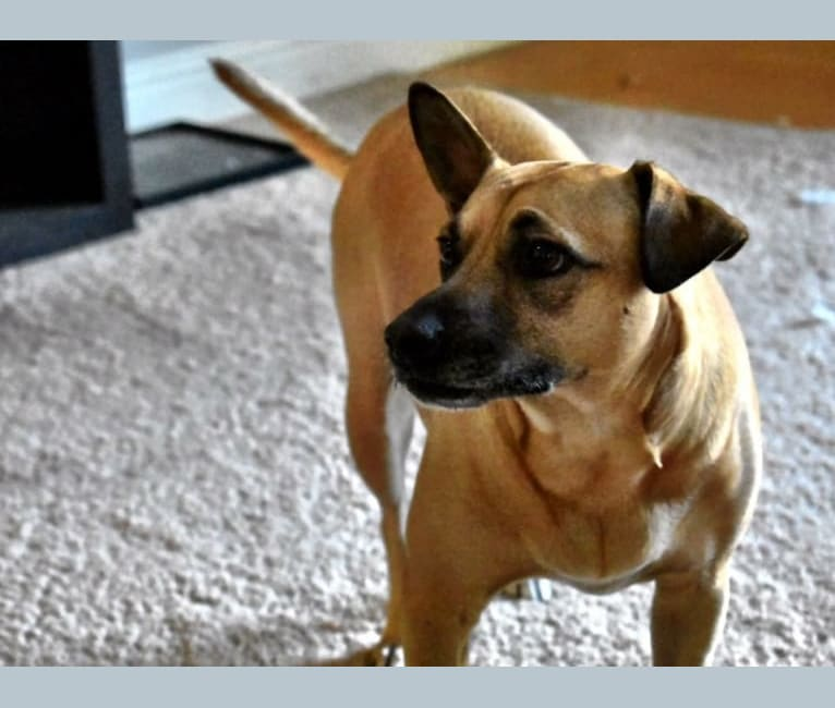 Photo of Ilia, a Chihuahua, American Pit Bull Terrier, and Mixed mix
