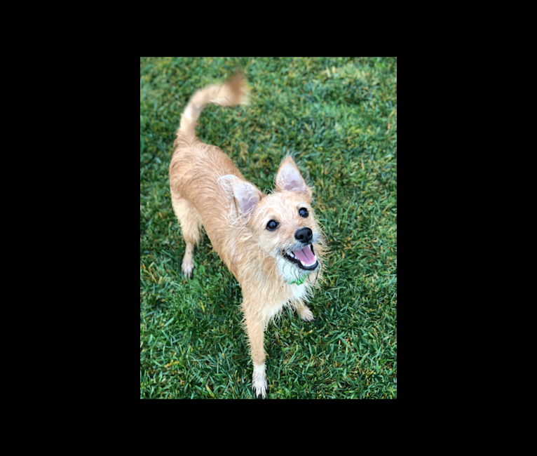 Photo of Macy, an Australian Cattle Dog, Australian Shepherd, Poodle (Small), and Mixed mix in Porterville, California, USA