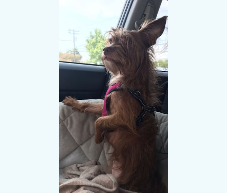 Photo of Mazzy, a Chihuahua, Maltese, Shih Tzu, and Mixed mix in Killeen, Texas, USA