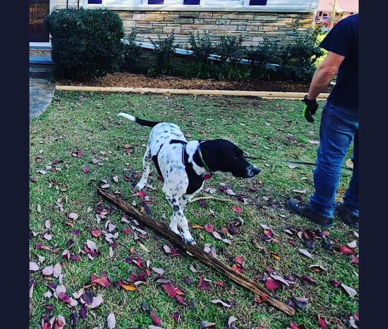 Photo of Millie, a Labrador Retriever, Great Pyrenees, Treeing Walker Coonhound, and Golden Retriever mix in Knoxville, Tennessee, USA