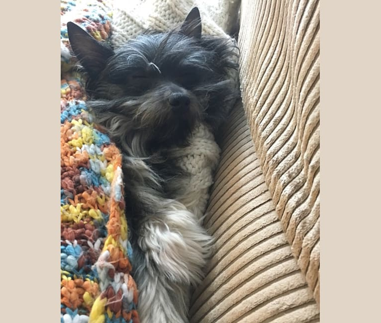 Photo of Toby, a Pomeranian, Dachshund, Chihuahua, Yorkshire Terrier, and Russell-type Terrier mix in Boston, Massachusetts, USA