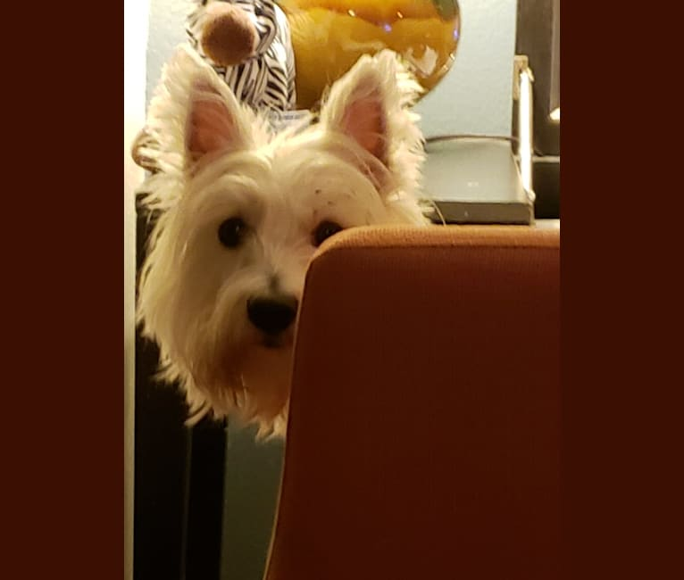 Photo of Aspen, a West Highland White Terrier  in Russellville, AR, USA