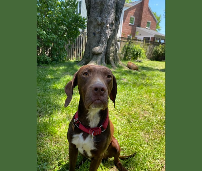 Photo of Franklin Hans Neidermeyer, a Pointer, German Shorthaired Pointer, and Treeing Walker Coonhound mix in Alexandria, Virginia, USA