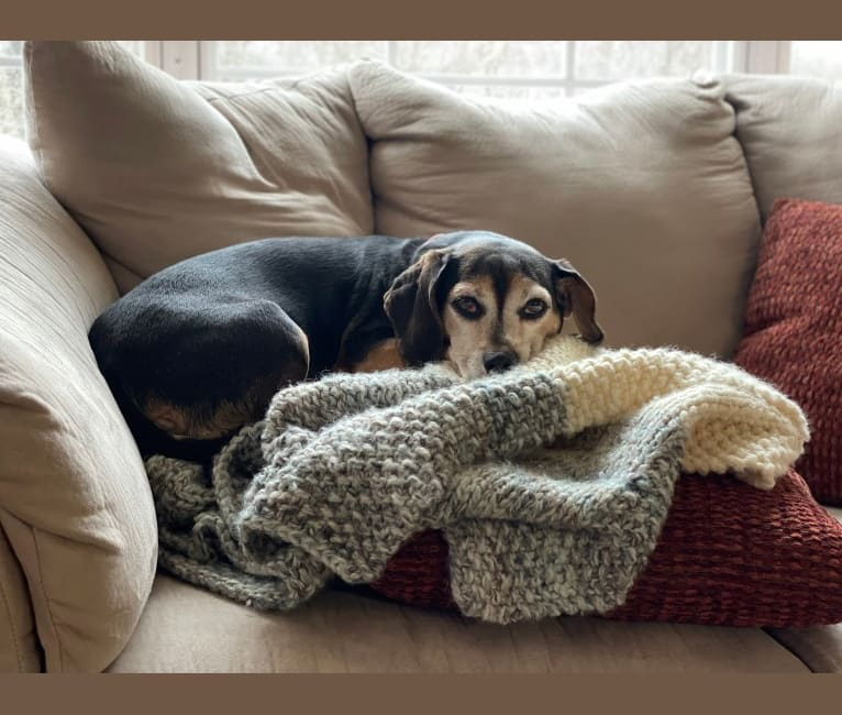 Photo of Lucy Hughes, a Beagle and Chihuahua mix in Lawrence Township, New Jersey, USA