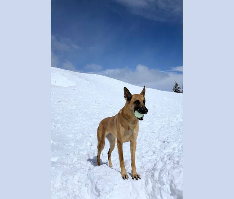 Photo of Penny, a Belgian Shepherd  in Cherry Valley, California, USA