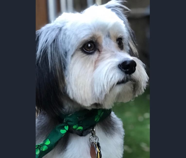 Photo of Benji, a Shih Tzu, American Pit Bull Terrier, Lhasa Apso, Chihuahua, and Yorkshire Terrier mix in Bakersfield, California, USA