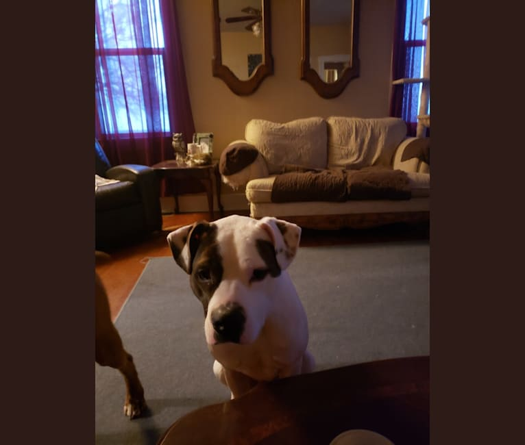 Photo of Castiel, an American Pit Bull Terrier  in Barry, Illinois, USA