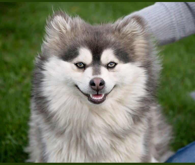Photo of Willow, a Siberian Husky and Pomeranian mix in Allerton, IA, USA