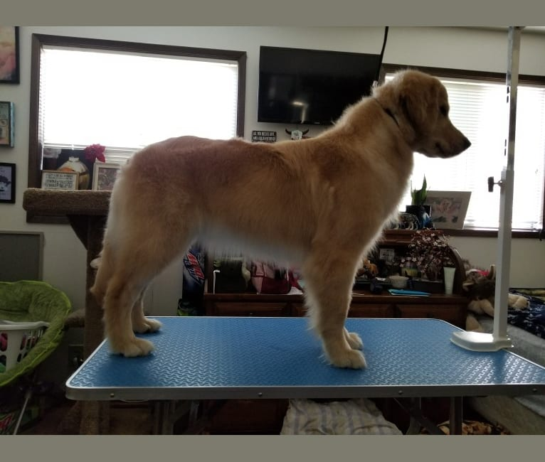 """Photo of WC's Little Miss Hot Cakes """"Bindi"""", a Golden Retriever  in Scappoose, OR, USA"""