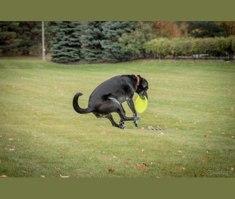 "Photo of Schimpf's Addicted to the Game (""Addie""), a Labrador Retriever and German Shepherd Dog mix in Aurora, Illinois, USA"