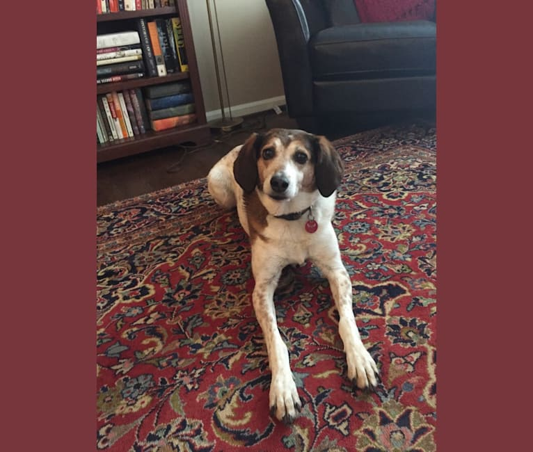 Photo of Truvey, an American Foxhound  in Atlanta, Georgia, USA