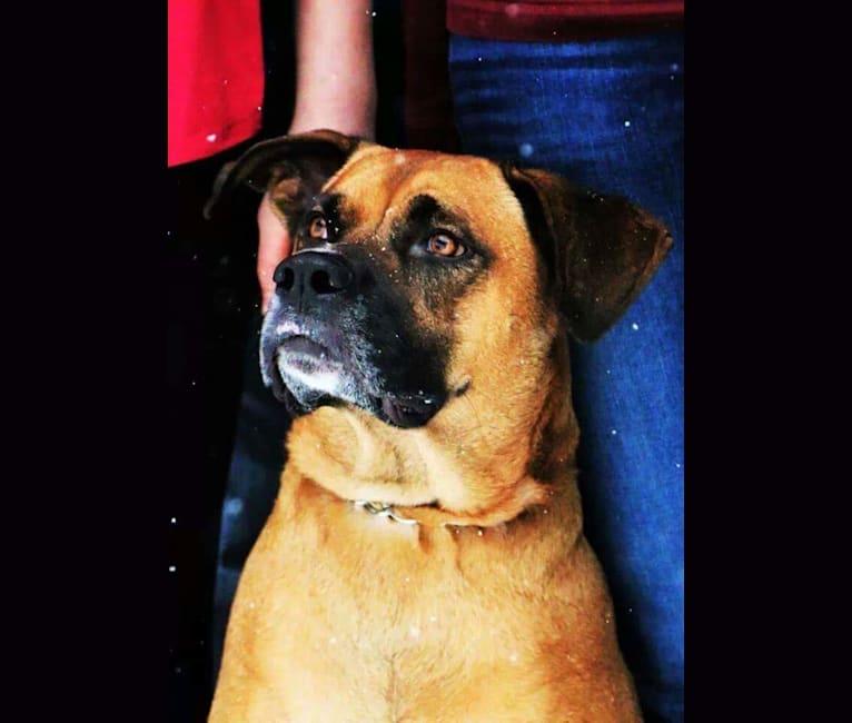 Photo of Bodie, a Boxer, German Shepherd Dog, Australian Cattle Dog, and Siberian Husky mix in Great Falls, Montana, USA