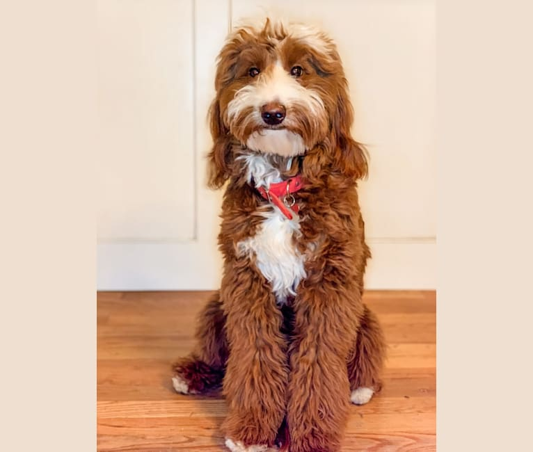 Photo of Masi, a Goldendoodle  in Mill Spring, NC, USA