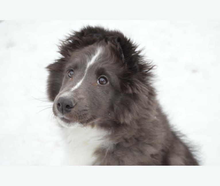 Photo of Brioche, a Shetland Sheepdog  in Princeton, MN, USA