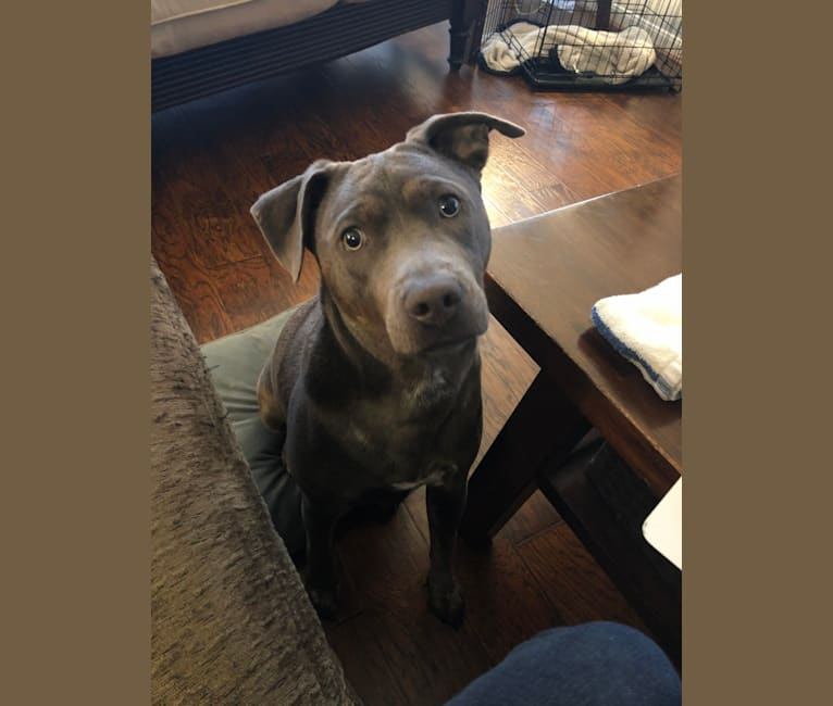 Photo of Remy, an American Pit Bull Terrier, Chow Chow, German Shepherd Dog, and Mixed mix in Conroe, Texas, USA
