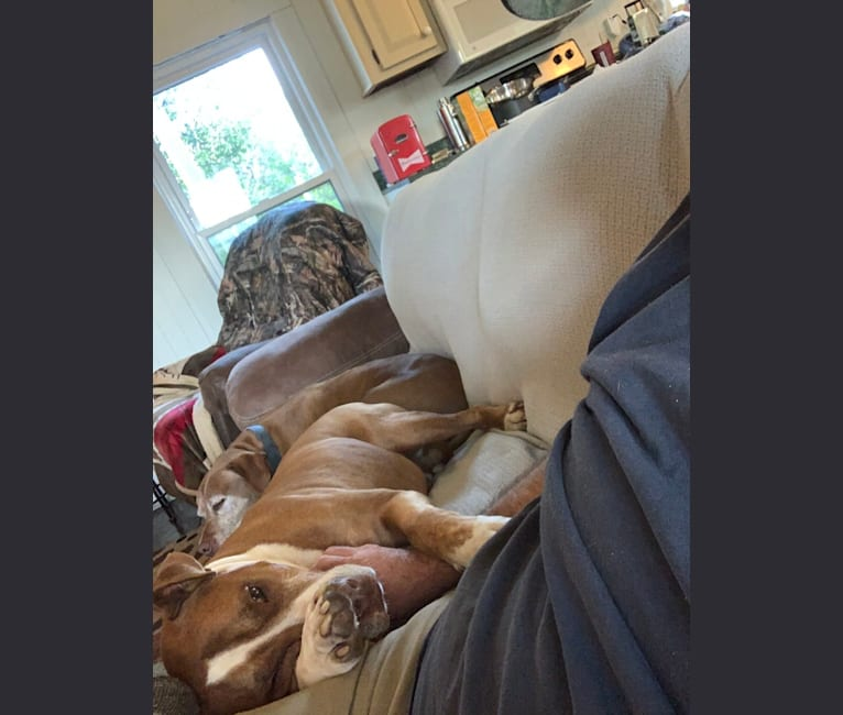 Photo of Buddy, an American Pit Bull Terrier and American Bulldog mix in Hardeeville, South Carolina, USA