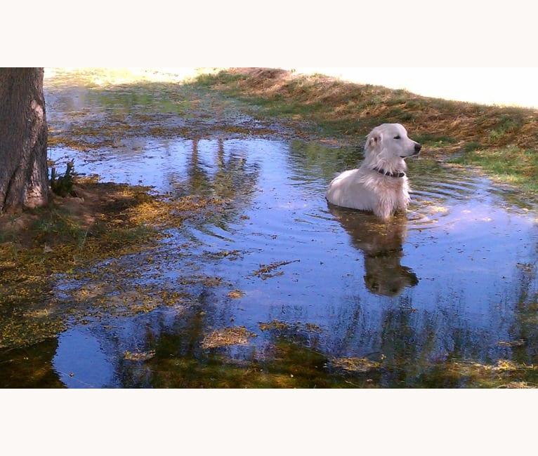Photo of Gandolf, a Maremma Sheepdog  in Idaho, USA