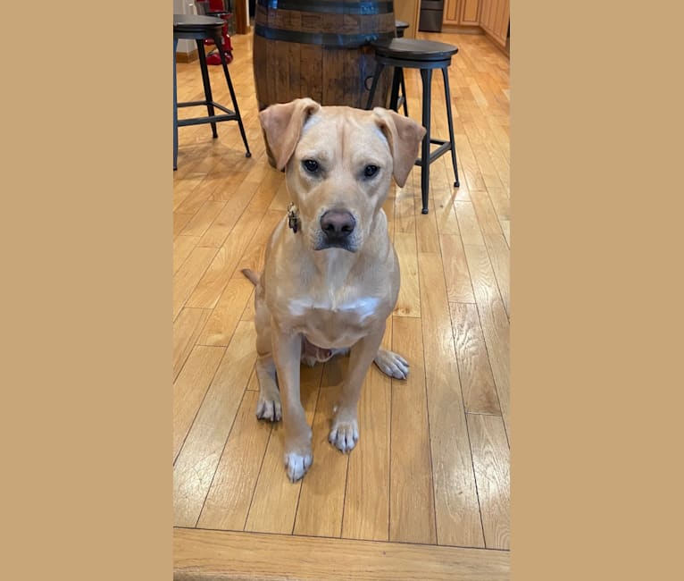 Photo of Dudley, an American Pit Bull Terrier, Australian Cattle Dog, Labrador Retriever, and Mixed mix in Arkansas, USA